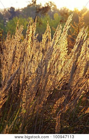 Close-up Dry Grass Field Over Setting Sun Background