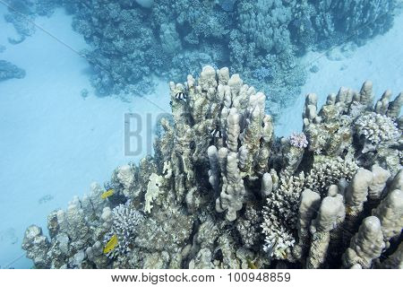 Coral Reef With Porites Coral In Tropical Sea, Underwater