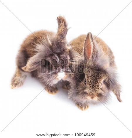 Upper view of two cute lion head rabbit bunnys sitting on isolated background.