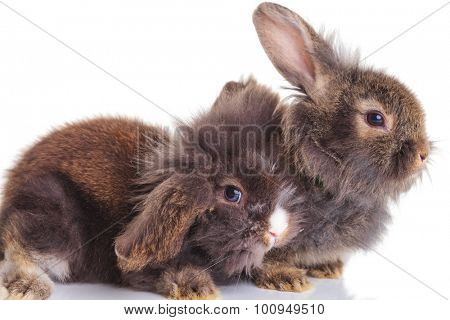 Side view of two cute lion head rabbit bunnys lying down on white background.