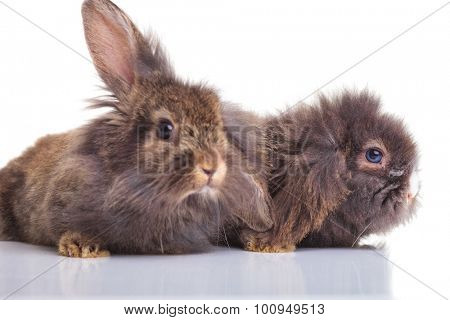 Picture of two cute lion head rabbit bunnys lying down on white studio background.