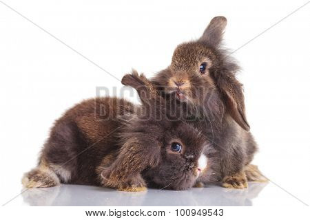 Two adorable lion head rabbit bunnys lying down on isolated background.