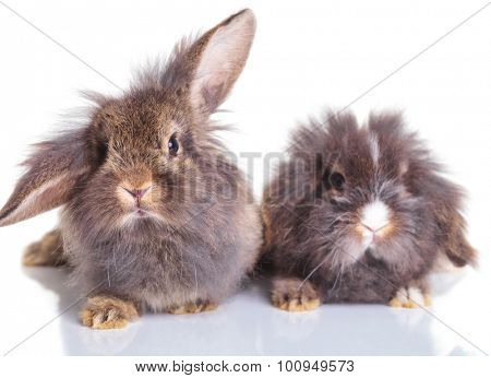 Picture of two adorable lion head rabbit bunnys sitting on isolated background.