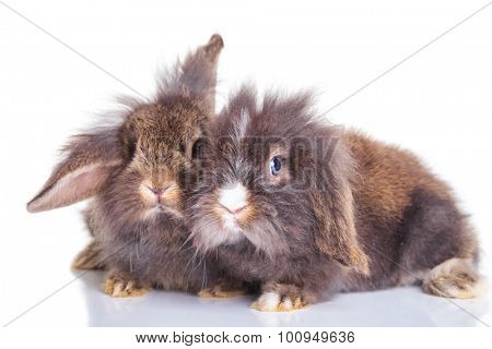 Side view of lion head rabbit bunnys lying down on studio background.