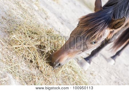 Brown Horse Eating Hay.