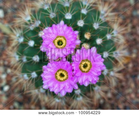 Blossoming Cactus With Violet Flowers, The Top View