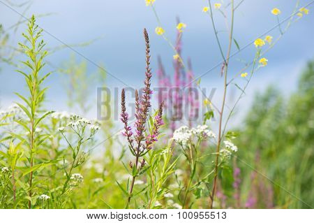 Blooming purple loosestrife between other wild flowers in nature