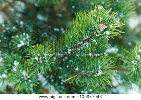 Blue Spruce Tree Branches With Snow