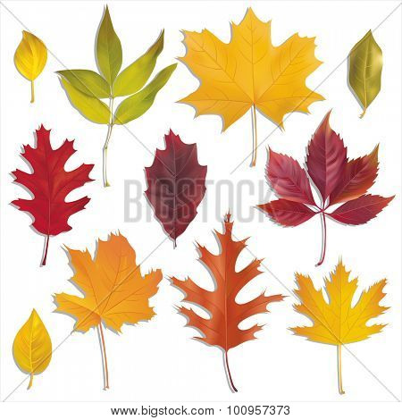 Autumn leaves collection. Vector set.