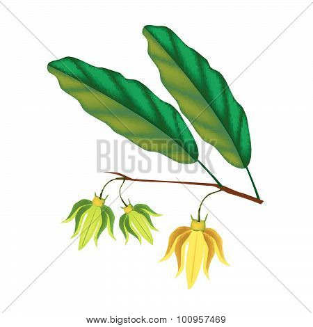 Beautiful Ylang Ylang Flowers On White Background