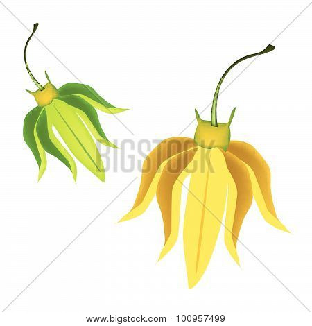 Yellow Ylang Ylang Flowers On White Background