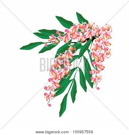 Pink Cassia Fistula Flower Isolated On White Background