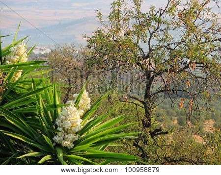 Yucca Flower And Almond Tree
