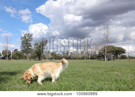 golden retriever in the park