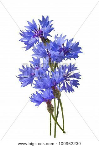 Fluffy Cornflower Isolated On White Background