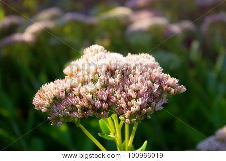 Sedum.orpine Flowers. Sedum Prominent. Autumn Flowers