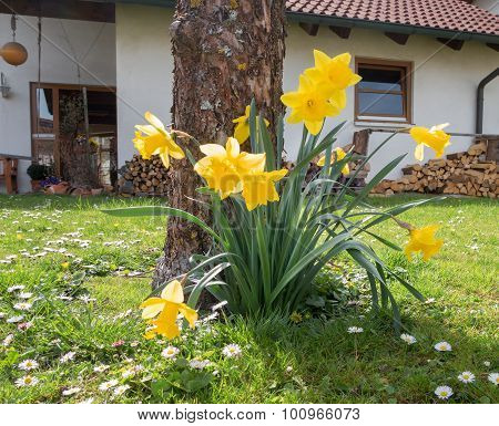 Blooming daffodils in a front garden