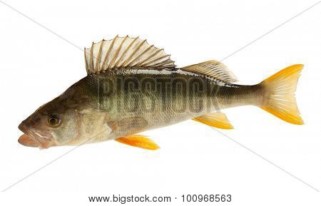 European perch (Perca fluviatilis). Isolated on white background