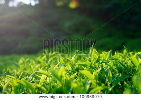 Green tea bud and leaves. Tea plantations, Cameron Highlands, Malaysia