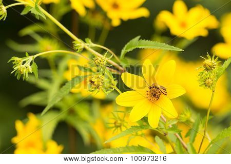 Soldier Beetle On Thin Leaved Sunflower