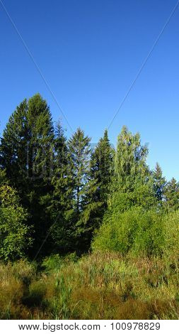 Spruce Tree And Swamp
