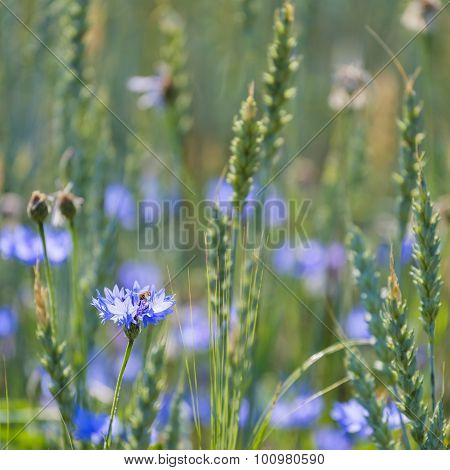 Cornflowers and Common Wheat