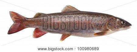 Siberian Lenok (brachymystax Lenok)