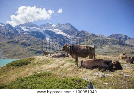 Cows In A High Mountain