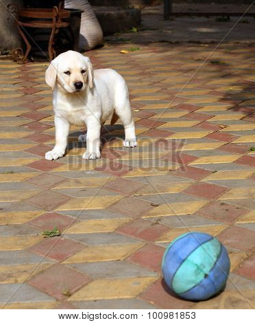 Yellow Happy Labrador Puppy In Garden With A Ball