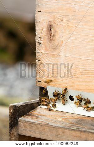 Honeybees With Pollen Return To Hive
