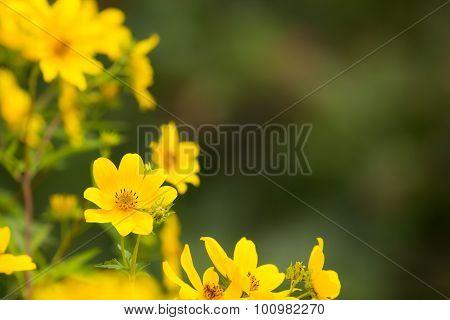 Yellow Perennial Heliathus