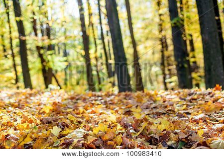 Forest trees in autumn. Sunlights in the wood.  Backgrounds.