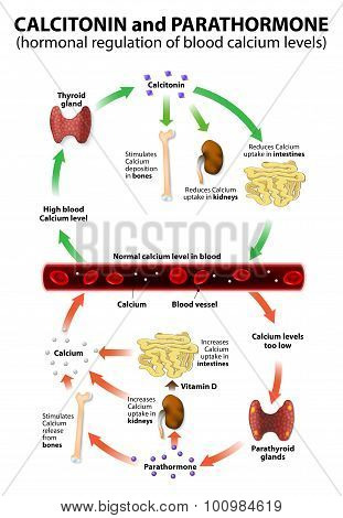 Hormonal Regulation Of Blood Calcium Levels