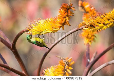 Green Female Sunbird Sitting On Yellow Aloe Get Nectar