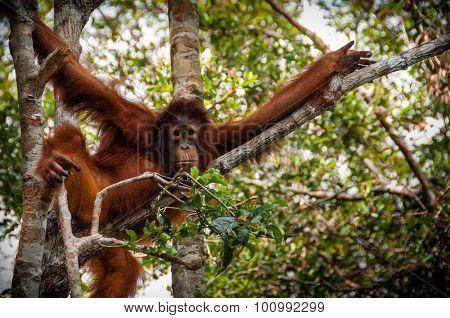 Orang Utan sitting on a tree in Borneo Indonesia