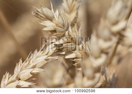Golden Staple Wheat At Harvest For Thanksgiving In Autumn
