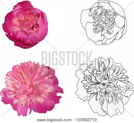 illustration with group of peony flowers isolated on white background
