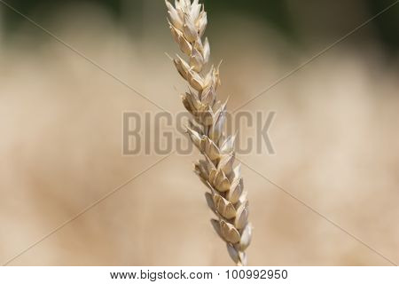 Single Detailed Macro Wheat