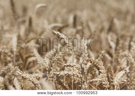 Golden White Wheat Field At Thanksgivingtime