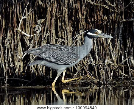 The Yellow-crowned Night Heron