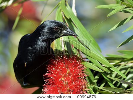 Cuban Blackbird (dives Atroviolaceus)