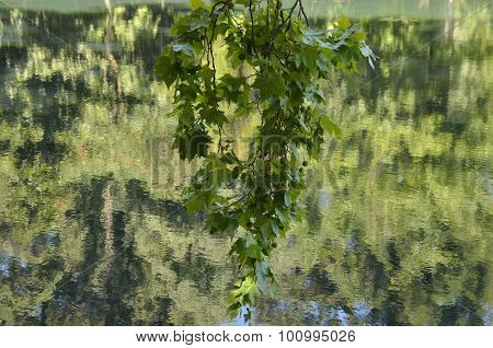 Reflected Branches Of Trees