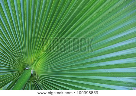 Palm Leaf Closeup As Background