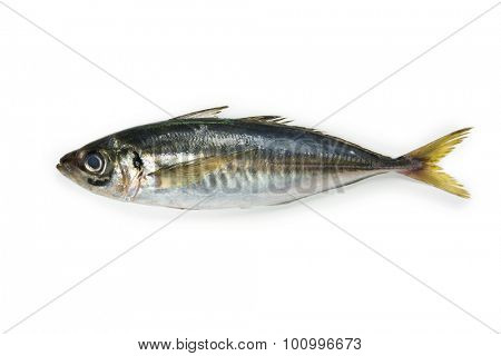 mackerel or Aji (Japanese horse mackerel /Trachurus japonicus ) of the Carangidae fish species, isolated on white.