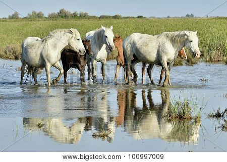 Portrait Of The White Camargue Horse With A Foal
