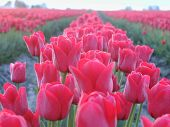 image of burlington  - a close up of the tulip fields of skagit county washington - JPG