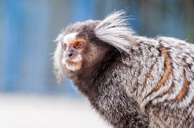 picture of marmosets  - White Eared Marmoset  - JPG