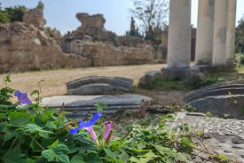 picture of ipomoea  - Flowering Ipomoea indica plant at antique colonnade of ancient Greek west gymnasium or xysto blurry background  - JPG