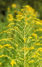 pic of goldenrod  - yellow Canadian goldenrod flower in natural ambiance
