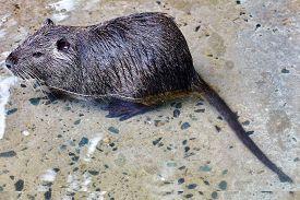 picture of rats  - Cute wild furry Coypu Rat  - JPG